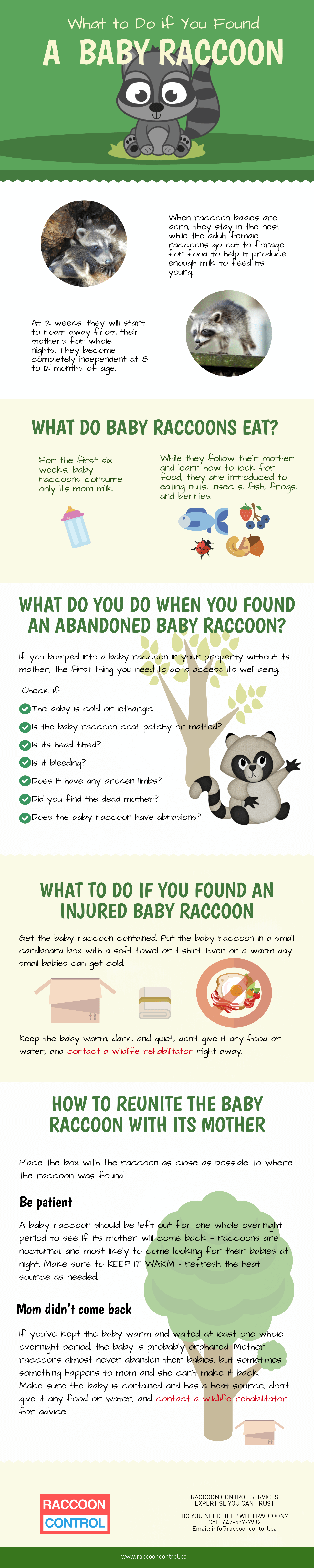 What to do if you spot a baby raccoon