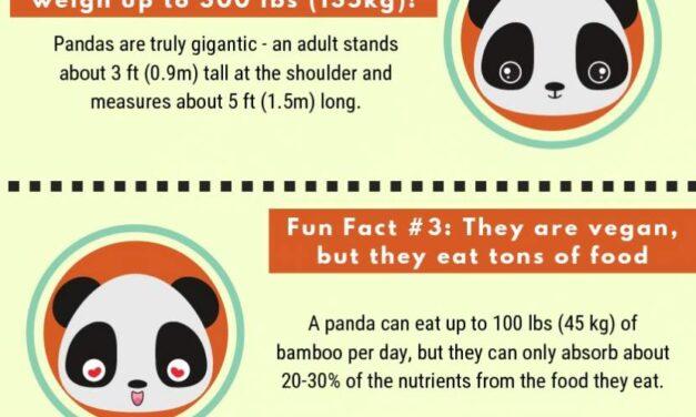 Giant Panda Fun Facts